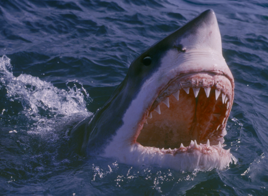 Great White Shark Front View