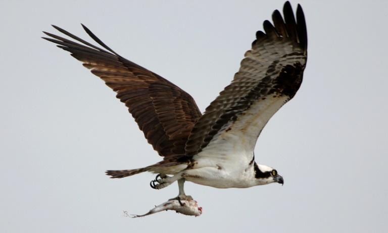 The tourist season coincides with ospreys' breeding season, which affects their reproductive success (AFP Photo/DON EMMERT)
