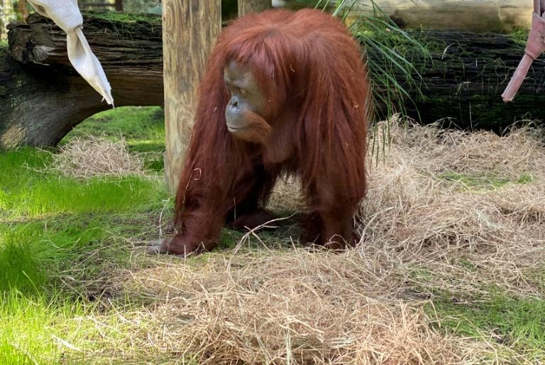 The 33-year-old orangutan Sandra joined the Florida retirement community after a court in Argentina declared her a 'non-human person' with the right to liberty from a Buenos Aires zoo