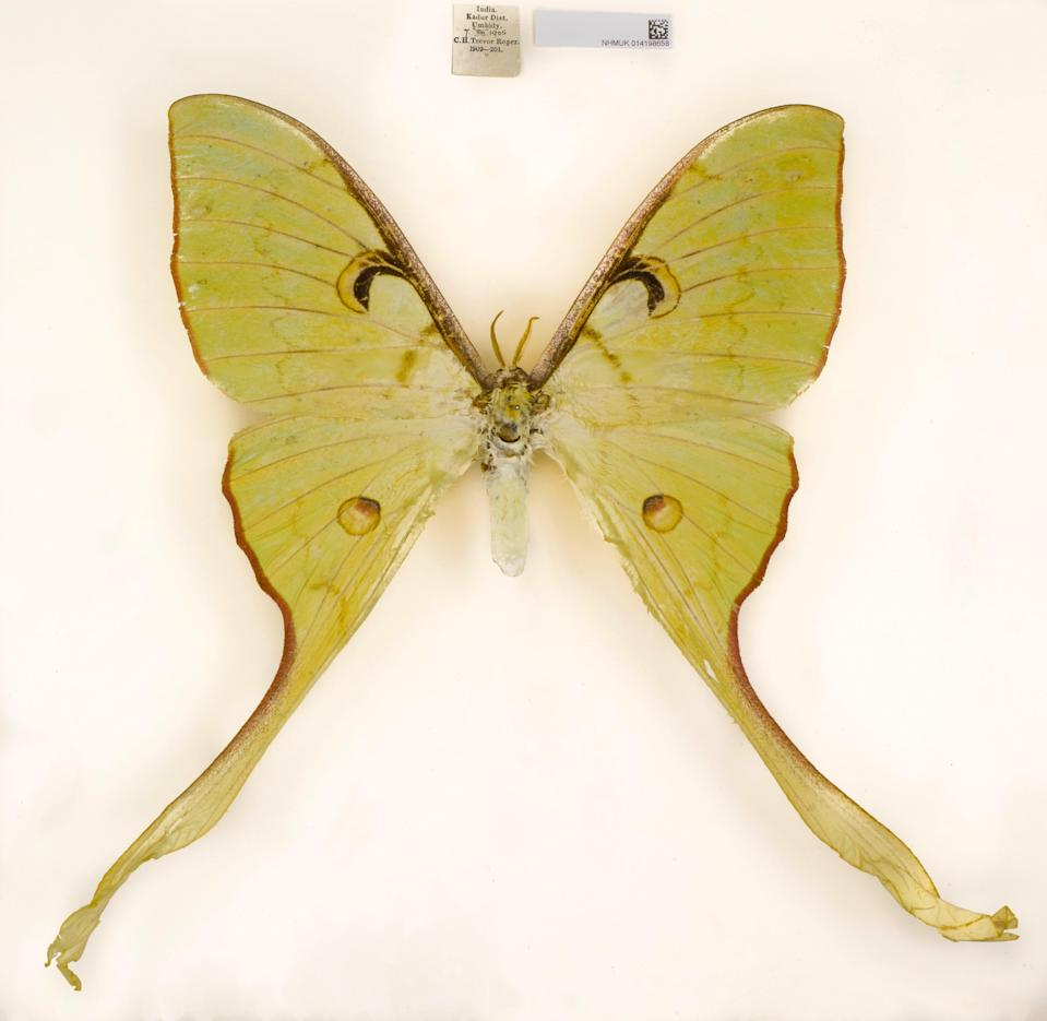 A moth from India is among new species described by the Natural History Museum (Nassig/PA)