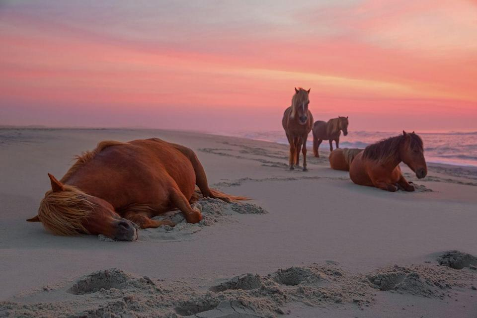 <p>A slice of wildlife at Assateague Island in Maryland, where wild horses roam the protected beaches.</p>