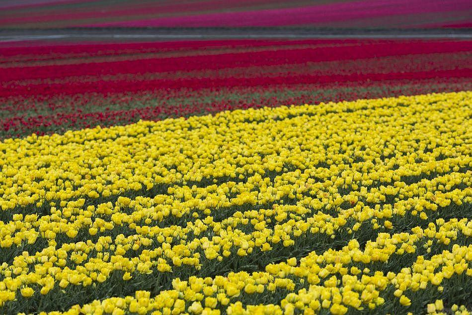 Another springtime, another tulip season. Europe's tulips will decorate vases around the world.