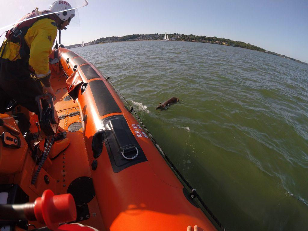 The deer is believed to have been carried across the Solent by the tide. (Cowes RNLI)