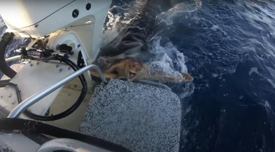 A green sea turtle tries to escape a tiger shark in the Bahamas.
