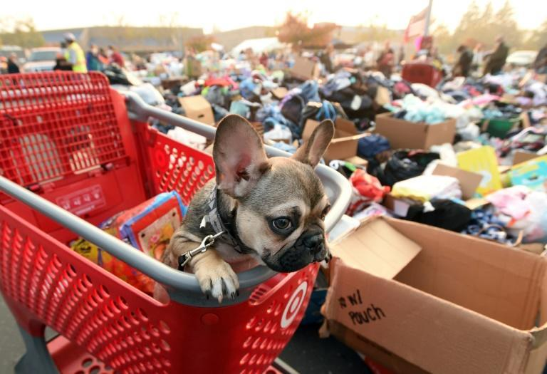 Diesel, a French bulldog puppy, looks on from a shopping cart at an encampment for fire evacuees in Chico, California