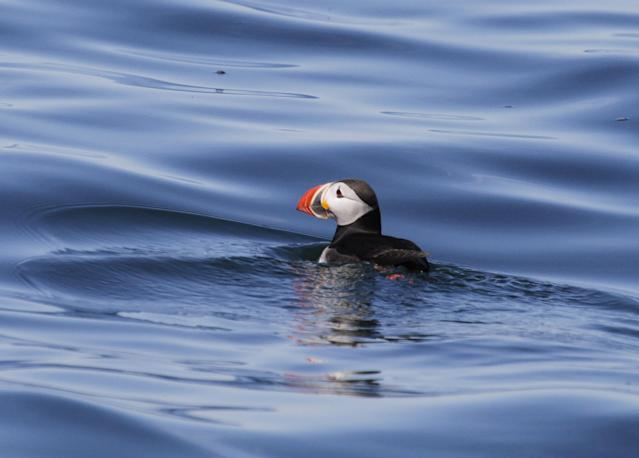 <p>Atlantic puffin out at sea. (Photo: Project Puffin/Stephen W. Kress) </p>