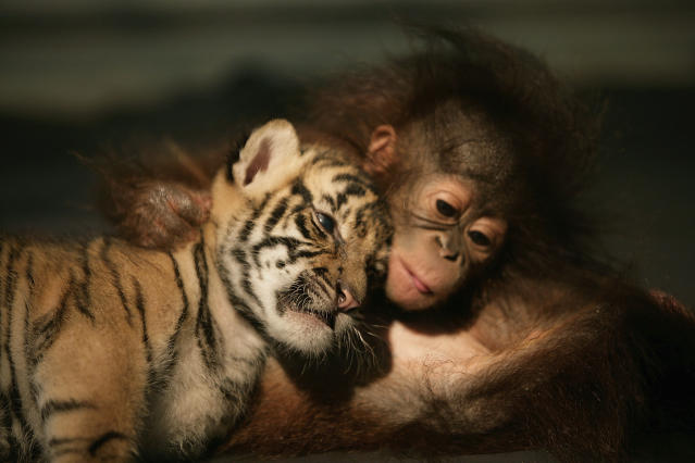 Irma, an orangutan, and Dema, a Sumatran tiger, snuggle together at an animal hospital in Indonesia. (Photo credit: Getty Images)