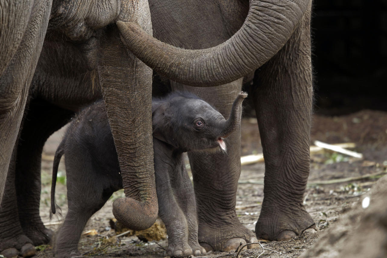 Mumba, a three-day-old female Asian elephant calf, walks between the legs of her mother Thong Tai, and her aunt Win Thida, at Artis zoo, in Amsterdam Tuesday June 21, 2011. Mumba, weighing approximately 90 kilograms, was born on Saturday June 18, 2011. (AP Photo/Peter Dejong)