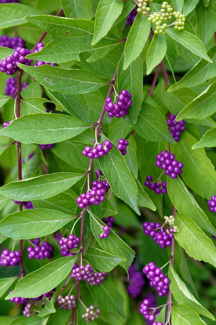 """<p>This lesser-known native shrub has small white flowers in spring and looks rather nondescript most of the season. But come fall, they explode with bright purple berries that are an eye-catching addition to the landscape. It's especially gorgeous in contrast to the oranges and yellows of fall. Some types can become quite large, so look for a compact variety.</p><p><a class=""""link rapid-noclick-resp"""" href=""""https://go.redirectingat.com?id=74968X1596630&url=https%3A%2F%2Fwww.homedepot.com%2Fp%2FPROVEN-WINNERS-1-Gal-Pearl-Glam-Beautyberry-Callicarpa-Live-Shrub-Dark-Purple-Foliage-and-Violet-Purple-Berries-CAPPRC0016101%2F301577700&sref=https%3A%2F%2Fwww.housebeautiful.com%2Fdesign-inspiration%2Fg37704306%2Fthe-10-best-plants-for-fall-color%2F"""" rel=""""nofollow noopener"""" target=""""_blank"""" data-ylk=""""slk:SHOP NOW"""">SHOP NOW</a></p>"""