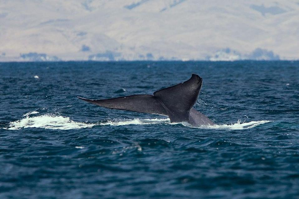 The changing climate could be a major factor in the whales' reappearance on the Galician coast (Mike Baird)