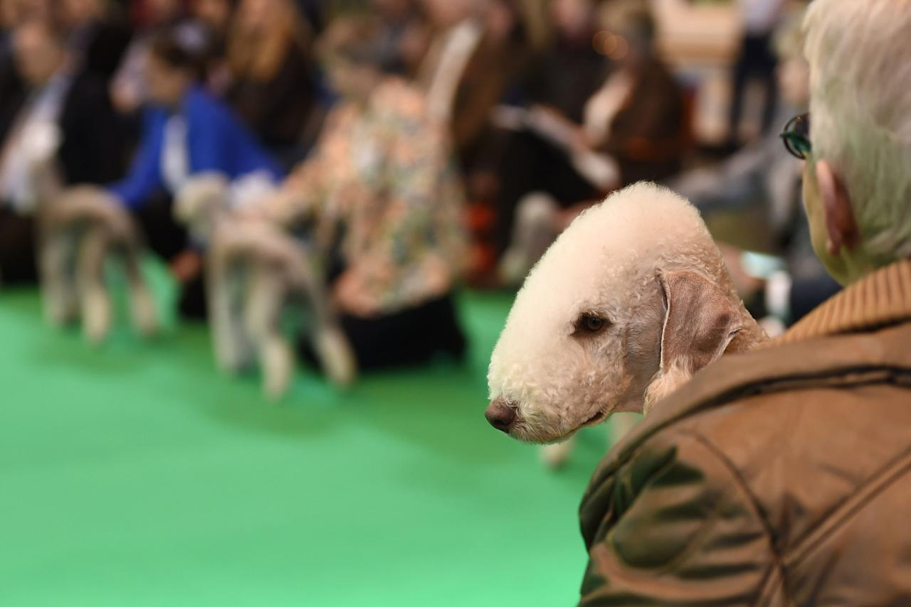<p>A Bedlington terrier waits to compete during day one of Crufts 2017 at the NEC in Birmingham. (PA) </p>