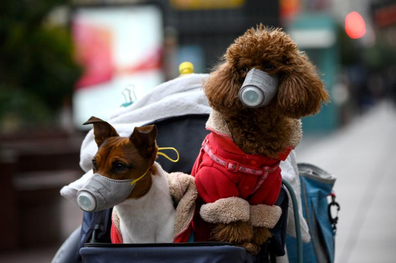 Dogs wearing masks are seen in a stroller in Shanghai on February 19, 2020. - The death toll from China's new coronavirus epidemic jumped past 2,000 on February 19 after 136 more people died, with the number of new cases falling for a second straight day, according to the National Health Commission. (Photo by NOEL CELIS / AFP) (Photo by NOEL CELIS/AFP via Getty Images)