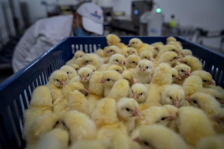 Poland last year raised more than a billion chickens for meat, according to Statistics Poland