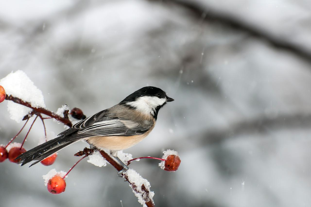 """<p>The <a href=""""https://www.audubon.org/field-guide/bird/black-capped-chickadee"""">black-capped chickadee</a>(<em>Poecile atricapillus</em>) not only has a super cute name, but its pettiness makes it even more adorable. They have black feathers on top and a patch under their beak. These birds especially love birch trees for nesting and enjoy a feeder full of suet, sunflower seeds, and peanuts.</p>"""