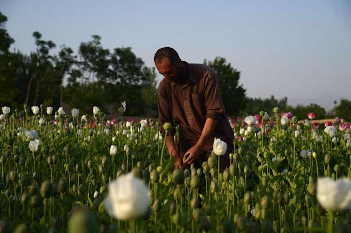 In this photo taken on April 27, 2018 an Afghan farmer harvest opium sap from a poppy field on the outskirts Mazar-i-Sharif. - The US government has spent billions of dollars on a war to eliminate drugs from Afghanistan, but the country still remains the world's top opium producer. (Photo by FARSHAD USYAN / AFP) (Photo credit should read FARSHAD USYAN/AFP via Getty Images)