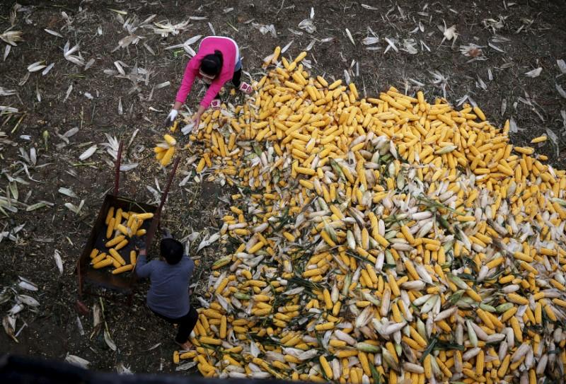 FILE PHOTO: Farmers collect corn for a cargo at a farm in Gaocheng