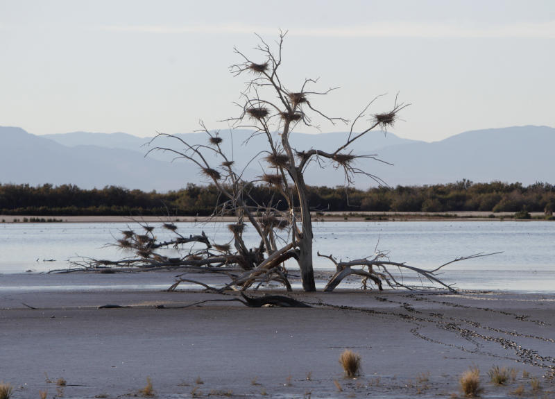 File - In a Dec. 27, 2010 file photo, a fallen tree supports numerous heron nests in the mud of Southern California's Salton Sea. As public officials sought a solid answer for what made Monday, Sept. 10, 2012 so pungent in Southern California, one answer proposed was a weather-aided waft of a fish die-off from the Salton Sea. (AP Photo/Lenny Ignelzi, File)