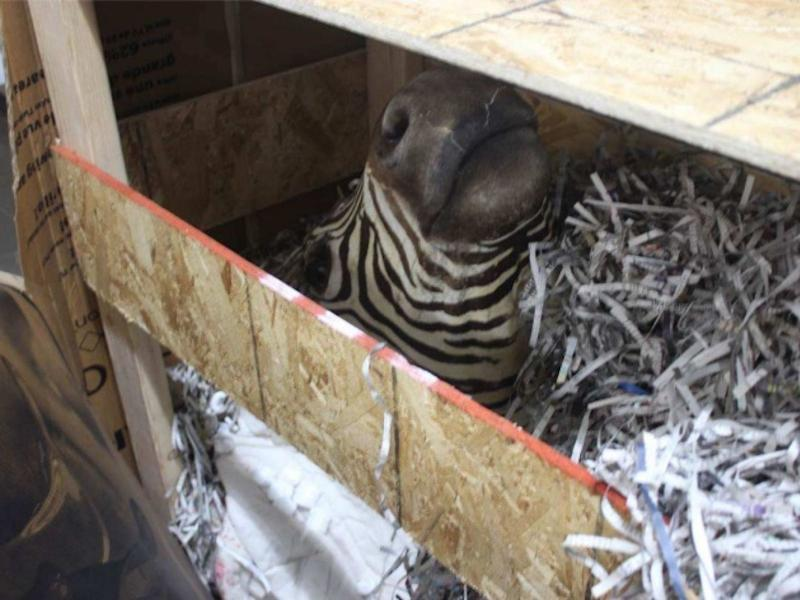 A stuffed zebra head found on Black's compound in Chihuahua, Mexico.