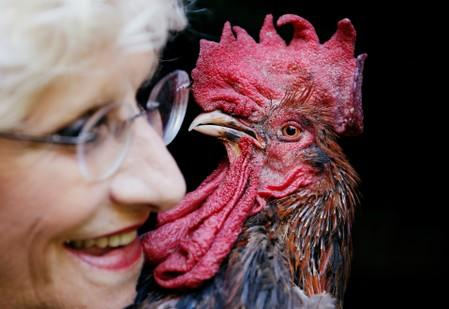 Maurice the Rooster pitches city slickers against locals in rural France