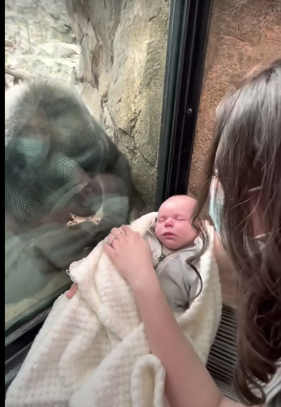 <p>Kiki, a gorilla at Franklin Zoo, tried to bond with a fellow mother and baby in a moving video</p> (YouTube/Michael Austin)