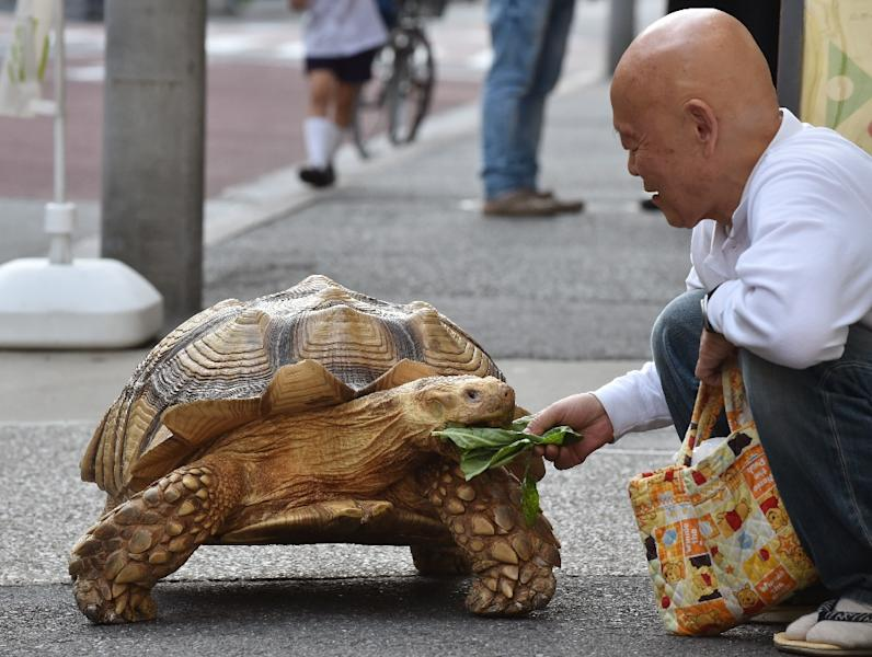 Bon-chan, a 19 year old male African spurred tortoise weighing about 70 kg, is fed cabbage by his owner Hisao Mitani, in Tokyo, on June 10, 2015 (AFP Photo/Kazuhiro Nogi)