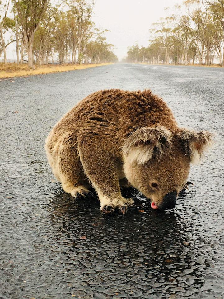 A koala licks rainwater off a road near Moree, New South Wales, Australia in this January 16, 2020 picture obtained from social media. PAMELA SCHRAMM /via REUTERS THIS IMAGE HAS BEEN SUPPLIED BY A THIRD PARTY. MANDATORY CREDIT. NO RESALES. NO ARCHIVES. MUST ON SCREEN COURTESY PAMELA SCHRAMM.     TPX IMAGES OF THE DAY