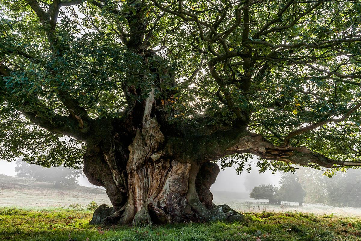 <p>'Ancient Sessile Oak', Cowdray Park, Sussex, England, United Kingdom (John Glover, 3rd place) </p>
