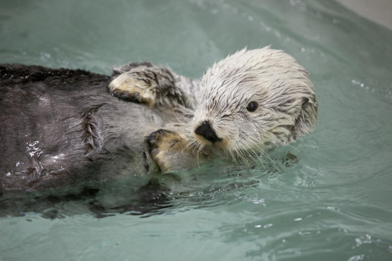 This April, 3, 2012 photo provided by the Shedd Aquarium shows Kenai, one of the last two sea otters rescued from the Exxon Valdez oil spill in 1989. Shedd Aquarium officials said Wednesday Oct. 10, 2012 that they euthanized the 23 year-old, female sea otter, on Tuesday. (AP Photo/courtosy of Shedd Aquarium,Brenna Hernandez)