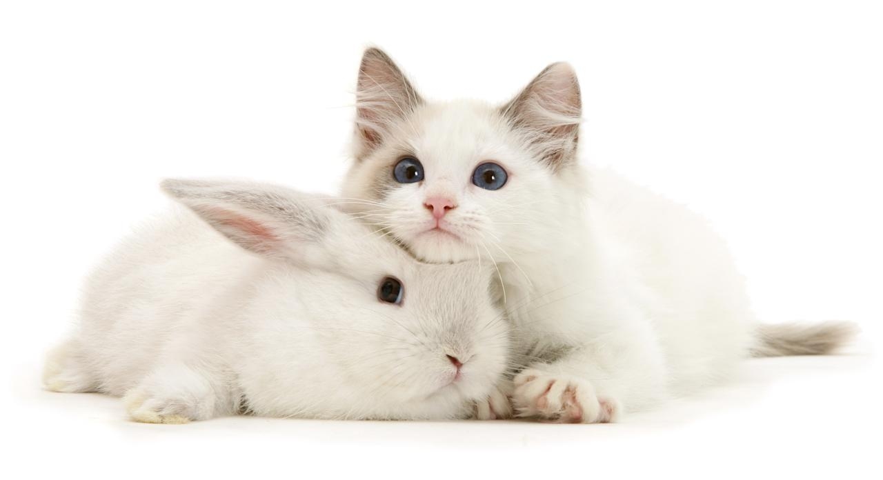<p>Color-point lop rabbit baby with Lilac Ragdoll kitten. (Photo: Warren photographic/Caters News) </p>