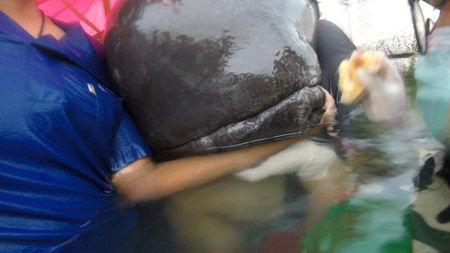 Pilot whale swallowed 7.7kg of plastic bags off Thailand