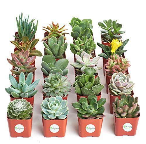 """<p><strong>Shop Succulents</strong></p><p>amazon.com</p><p><strong>$30.00</strong></p><p><a href=""""https://www.amazon.com/dp/B018WLMXG2?tag=syn-yahoo-20&ascsubtag=%5Bartid%7C10050.g.29785465%5Bsrc%7Cyahoo-us"""" rel=""""nofollow noopener"""" target=""""_blank"""" data-ylk=""""slk:Shop Now"""" class=""""link rapid-noclick-resp"""">Shop Now</a></p><p>We love the idea of presenting her with her very own """"garden"""" of succulents on Christmas or her birthday. Choose from a pack of four, 12, or 20 plants.</p>"""