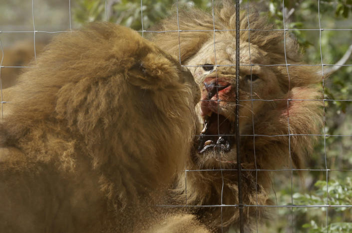 <p>Former circus lions roar after being released into an enclosure at Emoya Big Cat Sanctuary in Vaalwater, South Africa, May 1, 2016.<i>(Themba Hadebe/AP)</i></p>