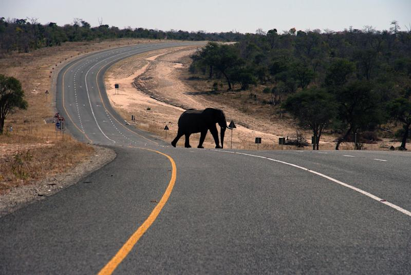 In this July 12, 2014 photo, an elephants crosses the main highway leading to Zambia in Northern Botswana. Recent years have yielded dire news about ivory poaching in Africa, where conservationists say poachers killed more than 20,000 elephants in 2013 amid rising demand for their tusks in Asia, particularly China. Yet Botswana is a rare bright spot because, the government says, it has about 200,000 elephants and the population is growing. Estimates for the total number of elephants in Africa range from 420,000 to 650,000, according to CITES and other conservation organizations.(AP Photo)
