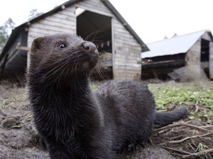 Thousands of mink bred in fur farms in Utah and Wisconsin have now died form Covid-19 (AP)