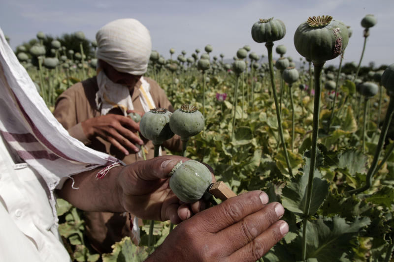 FILE - In this May 10, 2013 file photo, Afghan farmers collect raw opium as they work in a poppy field in Khogyani district of Jalalabad east of Kabul, Afghanistan. Afghanistan's opium production surged in 2013 to record levels, despite 12 years of international efforts to wean the country off the narcotics trade, according to a report released Wednesday by the U.N.'s drug control agency. (AP Photo/Rahmat Gul, File)
