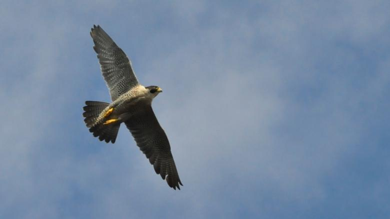 Peregrine falcon recovery 'astounding,' says Yukon biologist
