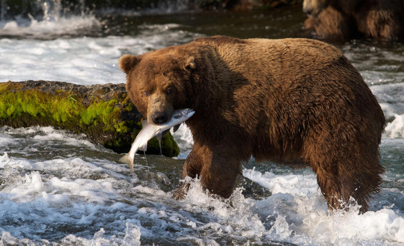 In this photo taken July 17, 2012 and provided by explore.org, a brown bear catches a salmon at Brooks Falls, Katmai National Park in Alaska. A new video initiative will bring the famed brown bears of the park directly to your computer or smartphone. In a partnership with explore.org, a live webstream will be unveiled Tuesday that will allow the public to log on and see the brown bears in their natural habitat, including views of the bears catching salmon at Brooks Falls. (AP Photo/explore.org, Tahitia Hicks)