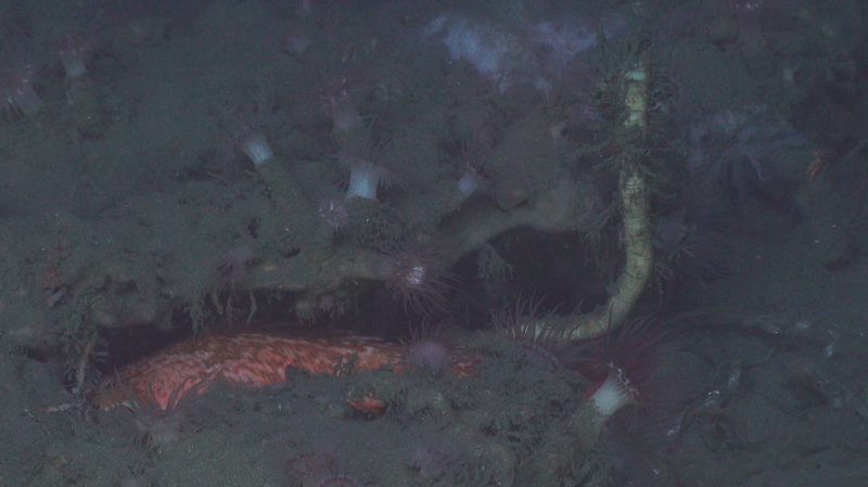 A deep-sea tubeworm (right) growing from under a carbonate outcrop off the coast of North Carolina, surrounded by anemones and fish. (Courtesy of Ivan Hurzeler and DEEP SEARCH 2019 — BOEM, USGS, NOAA, Woods Hole Oceanographic)