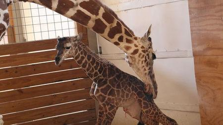 April helps her newly born unamed baby giraffe stand at the Animal Adventure Park, in Harpursville, New York, U.S. April 15, 2017.  Animal Adventure Park/Handout via REUTERS