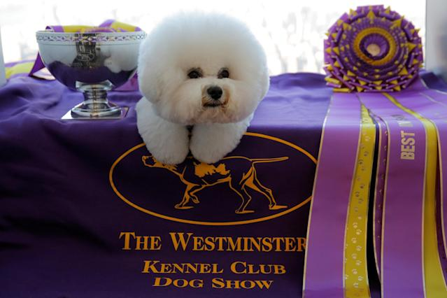 "Flynn, a Bichon Frise, appears at the One World Observatory a day after winning the ""Best in Show"" at the Westminster Kennel Club Dog Show in Manhattan, New York, U.S., February 14, 2018. REUTERS/Andrew Kelly"