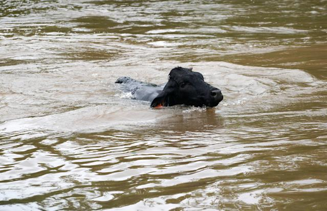 <p>A cow swims trying to get out of the Hurricane Harvey floodwaters near East Columbia, Texas on Aug. 29, 2017. (Photo: Rick Wilking/Reuters) </p>