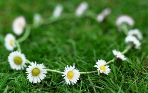 Daisy chain (Bellis perennis)  - Getty Images Fee