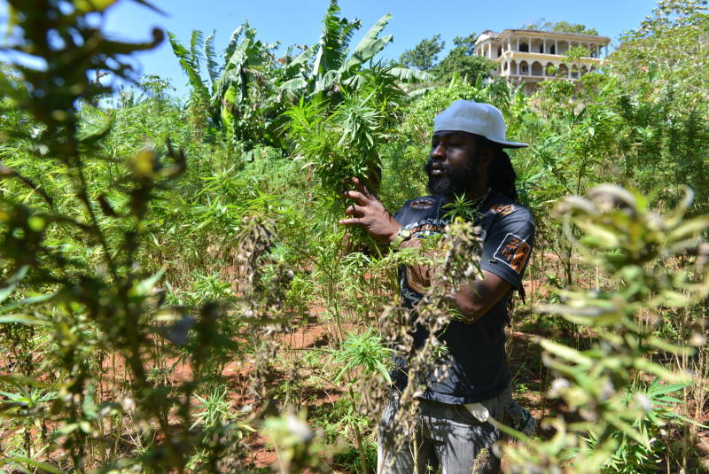 In this Aug. 29, 2013 photo, farmer nicknamed Breezy shows his illegal patch of budding marijuana plants during a tour of his land in Jamaica's central mountain town of Nine Mile. Breezy says Americans, Germans and increasingly Russian tourists have toured his small farm and sampled his crop. (AP Photo/David McFadden)