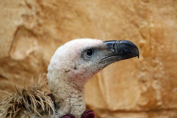 The two-year-old bird embarked on his journey in September 2018 from Bulgaria where he was tagged by a wildlife fund (AFP Photo/Mohammed HUWAIS)