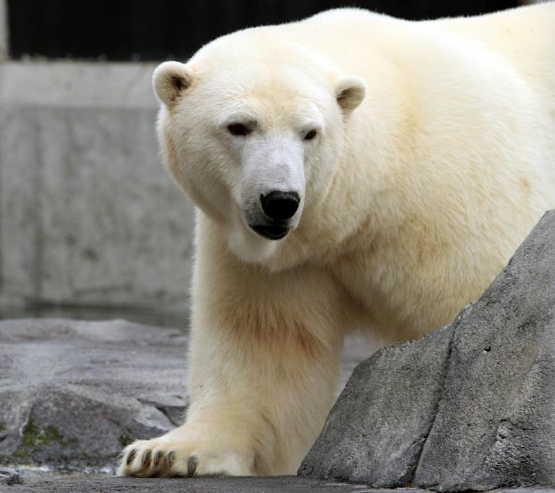 "Ahpun, a female polar bear, strolls around her cage at the Alaska Zoo on Wednesday, Sept. 5, 2012, in Anchorage, Alaska. The bear is one of two candidates for zoo ""president"" in a fundraiser that matches the timing of the U.S. presidential race. She's running against Denali, a wolf, and ballots are $1.  (AP Photo/Dan Joling)"