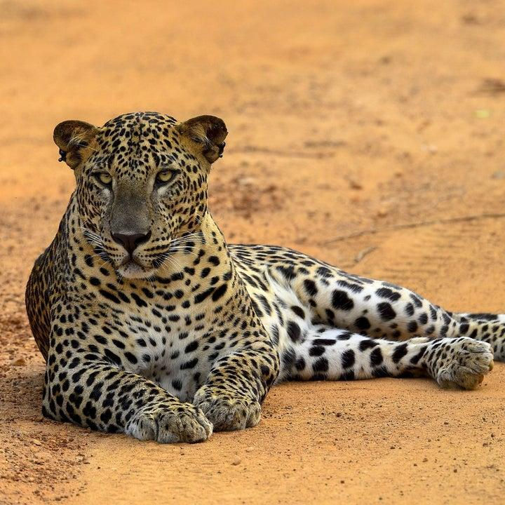 Leopard laying in the sand in Sri Lanka