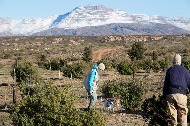 The climate on the plateaus of South Africa's rugged Cederberg mountains is similar to that of Mediterranean Europe