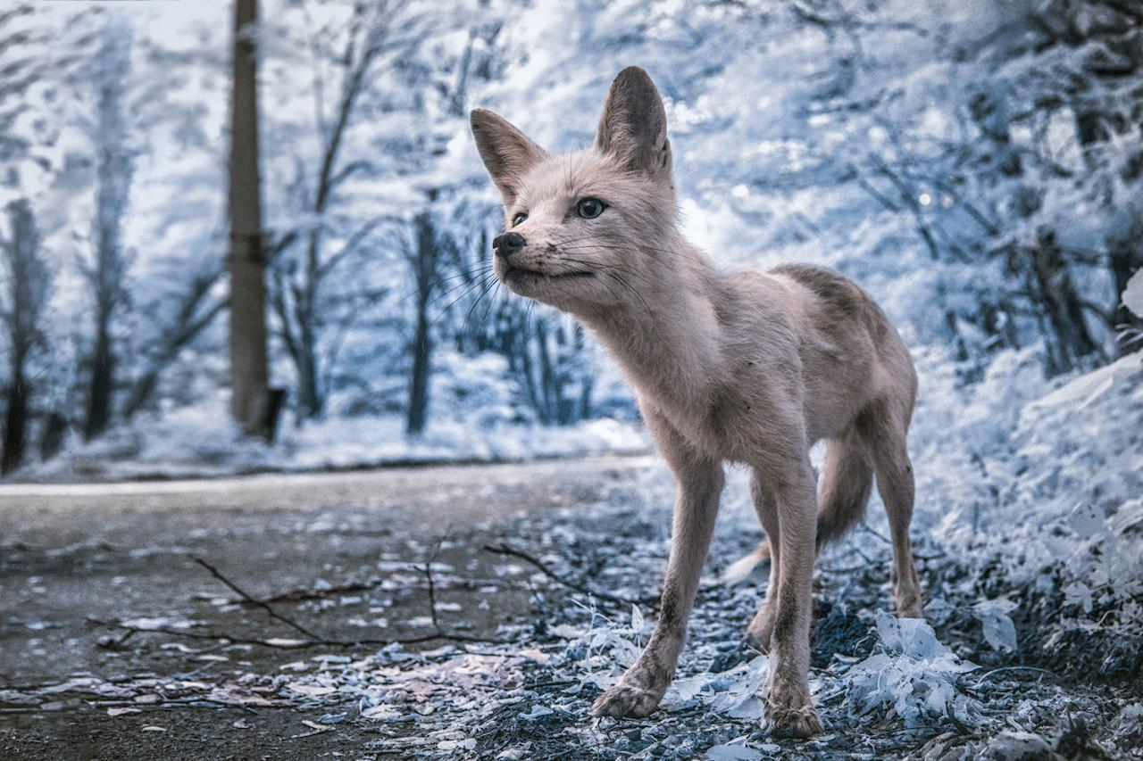 <p>Simon, a friendly fox who often approaches tourists in the exclusion zone, asks for food. (Photo: Vladimir Migutin/Caters News) </p>