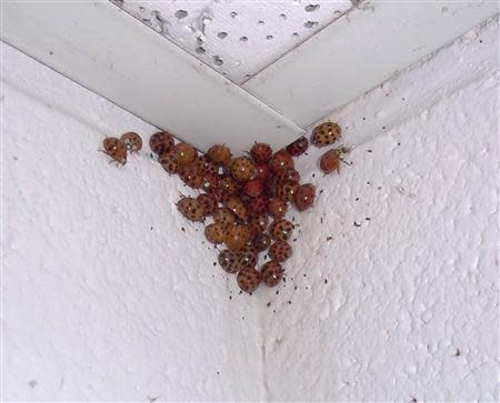 University of Tennessee photo of lady beetles congregating in a corner of a ceiling