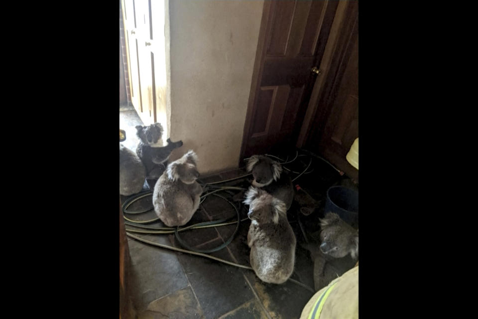 In this Dec. 20, 2019, photo taken and provided by Adam Mudge, koalas sit inside a home in Cudlee Creek, South Australia, after being rescued from fires at a garden. Local firefighters assigned to protect a property from an approaching fire in South Australia on Friday helped a homeowner move koalas into her house to keep them safe from the flames. (Adam Mudge via AP)